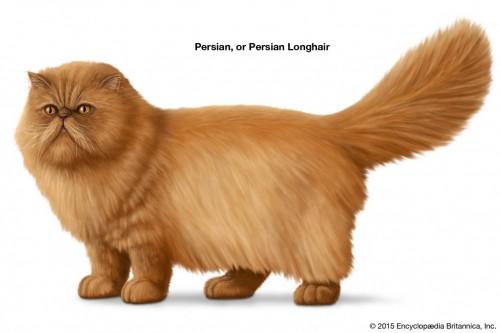 Persian-one-breeds-Longhair-cats.jpg